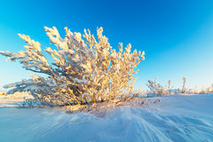 Snow-covered bushes on the rocky plateau. Illuminated by the setting sun Royalty Free Stock Images