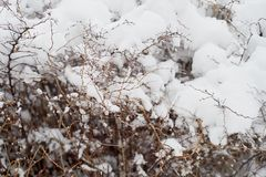 Snow-covered bushes.Texture. Heavy snow this winter. Snow-covered bushes. Texture. Heavy snow this winter Royalty Free Stock Image