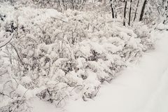 Snow-covered bushes.Texture. Heavy snow this winter. Snow-covered bushes. Texture. Heavy snow this winter Royalty Free Stock Photo