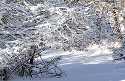 Snow covered bushes. Royalty Free Stock Photos