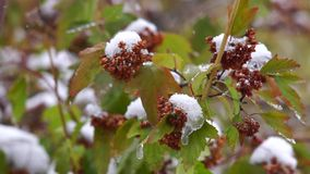 Snow covered bushes stock footage