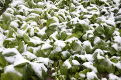 Snow-covered cabbage Royalty Free Stock Image