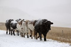 Snow covered cattle Royalty Free Stock Images