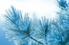 Snow-covered cedar branch Stock Photo