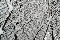 Snow covered cherry tree branches Royalty Free Stock Photography