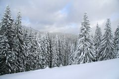 Snow covered Christmas forest. Snow covered spruce Stock Photography