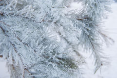 Snow-covered Christmas tree branch Stock Image