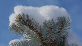 Snow-covered Christmas tree, Bright sunlight falling with snow, snowflakes falling from the trees. Snow-covered trees, dry reeds in the snow, Bright sunlight stock footage