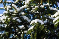 Snow covered Christmas tree Royalty Free Stock Photography