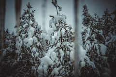 Snow covered Christmas trees stock photo
