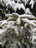 Snow covered conifer branch with falling snow Stock Photography