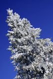A snow covered conifer tree. Seen from below with deep blue sky Royalty Free Stock Photos