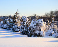 Snow covered conifer trees. Heavily loaded snow on conifers bending them to the ground stock image
