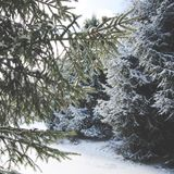 Snow Covered Coniferous Tree Branches on Sunny Day royalty free stock photo