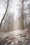 Snow Covered Coniferous Trees in the Forest. Snow covered trees, coniferous trees. Snow covered ground, gray day with lots of brown tones in the woods stock photography