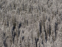 Snow  covered conifers Stock Images