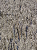 Snow  covered conifers Stock Photos