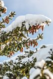 Snow covered conifers in the sun royalty free stock photo