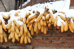 Snow covered corns hanging on the roof in the countryside Royalty Free Stock Image
