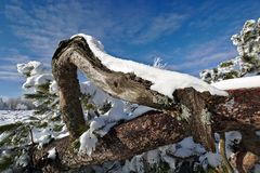 Snow-covered crooked pine tree in front of a blue sky Royalty Free Stock Images