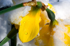 Snow covered daffodil in early spring Stock Image