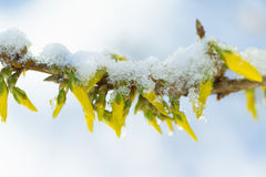 Snow Covered Daffodil Stock Images