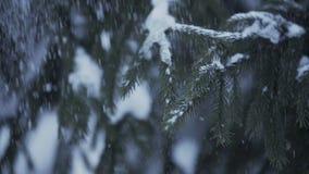 Snow-covered de sneeuwdalingen van de sparrentak van bos stock videobeelden