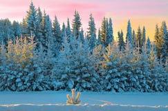 Snow-covered de winterbos door de ochtendzon die wordt verlicht royalty-vrije stock foto