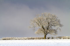 Snow covered deciduous tree in a hedge Stock Images