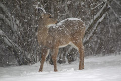 A snow covered doe whitetail in a blizzard Royalty Free Stock Image
