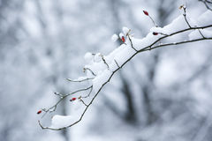 Snow-covered dog rose branch Stock Photos