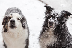 Snow covered dogs Royalty Free Stock Photography