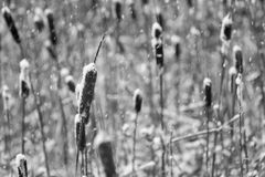 Snow-covered dry cane or reed of monochrome tone Stock Photos