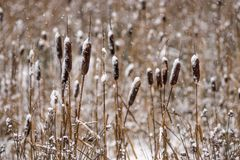 Snow-covered dry cane or reed for a winter background Stock Photo