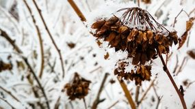 Snow-covered dry dead plant stock photo