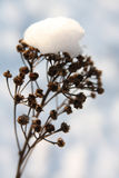 Snow covered dry flower Stock Photo