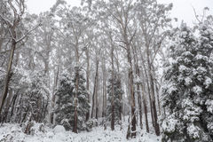 Snow covered eucalyptus trees in Australia Stock Image