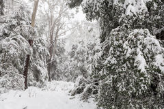 Snow covered eucalyptus trees in Australia Royalty Free Stock Photo