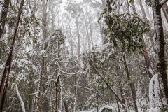 Snow covered eucalyptus trees in Australia Stock Images