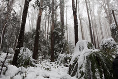 Snow covered eucalyptus trees and ferns in Australia Royalty Free Stock Images