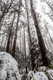Snow covered eucalyptus trees and ferns in Australia Royalty Free Stock Photos