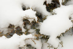 Snow covered evergreen Royalty Free Stock Photography