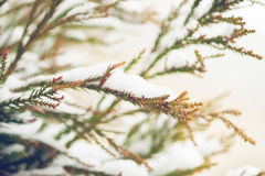 Snow covered evergreen branch Stock Image