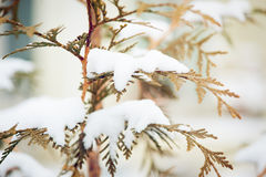 Snow covered evergreen branch Stock Photography