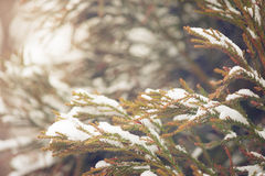 Snow covered evergreen branch Royalty Free Stock Image
