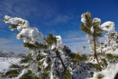 Snow-covered evergreen branches in front of a blue sky Royalty Free Stock Photo