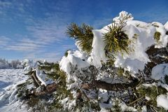 Snow-covered evergreen branches in front of a blue sky Royalty Free Stock Photos