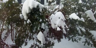 Snow Covered Evergreen Bushes with House Background royalty free stock photo