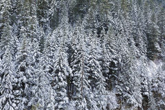 Free Snow Covered Evergreen Fir Trees During WInter Stock Photography - 48307692