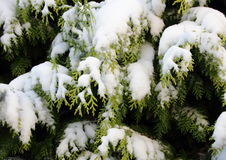 Snow covered evergreen thuja branch in winter Royalty Free Stock Photos